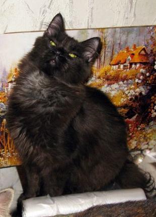 МУСКАТ - СИБИРСКАЯ (метис), цвет ЧЕРНЫЙ ШОКОЛАД. котенок-мальчик