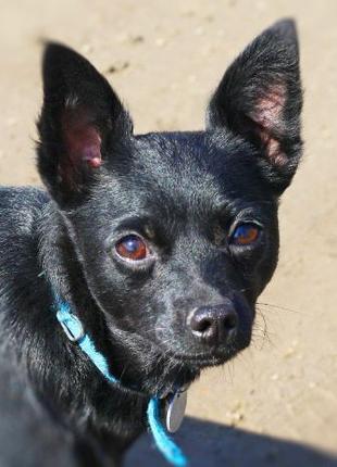 ХАННА - жгуче-черная, шикарная молодая маленькая собака (2 год...