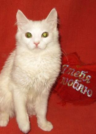 ЗЕФИР - белая турецкая ангора (метис), котенок-мальчик, 7,5 мес.