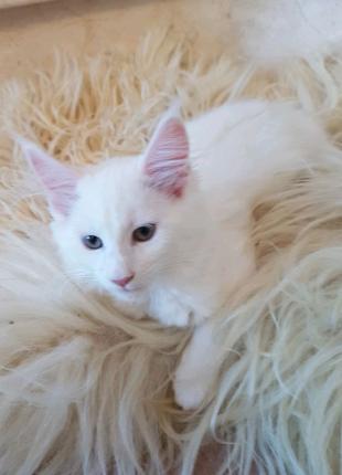 Котенок породы Мейн Кун