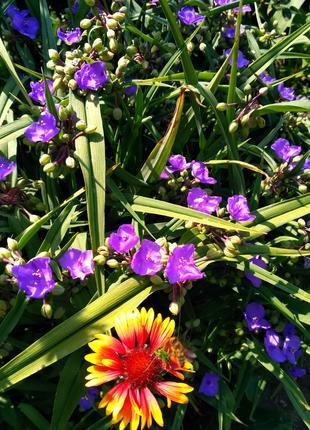 Цветы Традисканция Виргинская