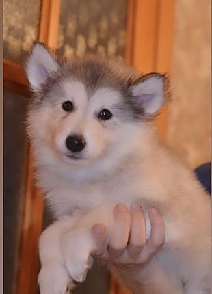 Аляскинский маламут лучшие щенки Киев!!доставка бесплатная
