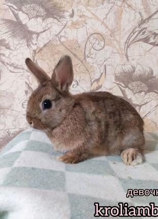 Карликовые декоративные кролики.Торчеушки , вислоухие кролики