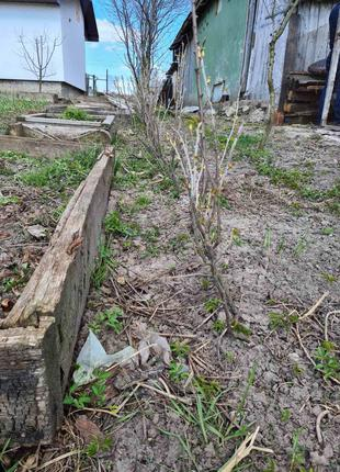 кущі смородини 3-х річні, Софіївка, великі плоди, відкритий корін