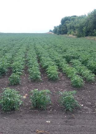 Насіння томатів.