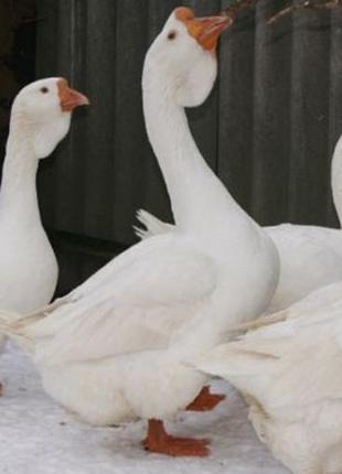 семья гусей породы Холмогор