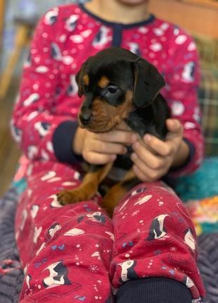 щенок немецкий пинчер мини доберман