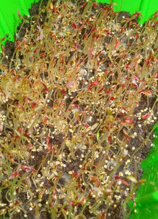 Семена амаранта для выращивания микрозелени. Микрогрин