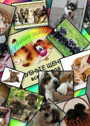 Предлагаем клубных щенков