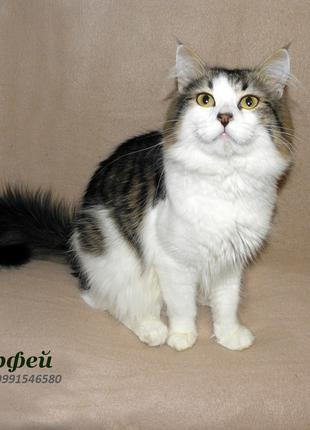 Котик Орфей (1 год), метис сфинкс-браш и мейн-кун-сибирского