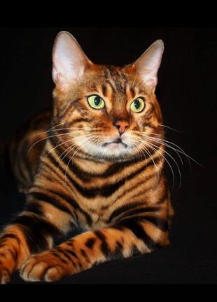 Бенгальські котята,окрас розетка на золоті