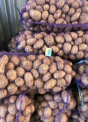 Картошка Гранада оптом