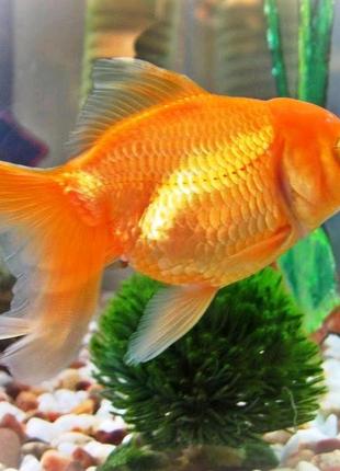 Золоті рибки , золотые рыбки