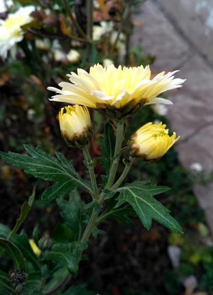 Хризантема кремовая