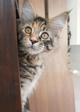 Котенок Мейн-кун девочка