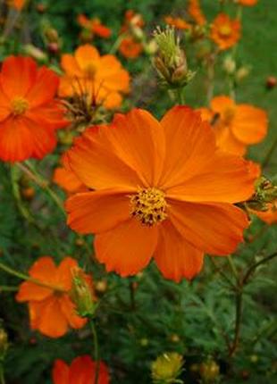 Космея Оранжевый венец (семена 20 шт) 5 грн
