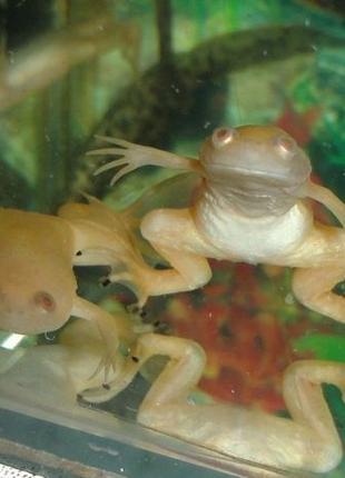 Озорные лягушата 2-3 см. можете с маленького приручить к рукам!