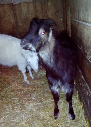 Кози ламанча