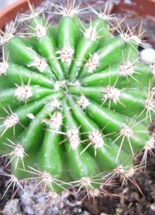 Кактус. Комнатные растения