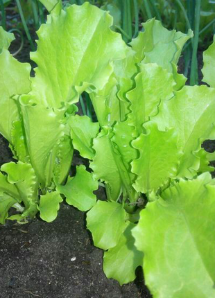 Салат курчавый (семена 500 шт) 3 грн