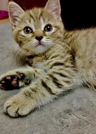Шотландські кошенята. Шотландська киця. Прямовуха
