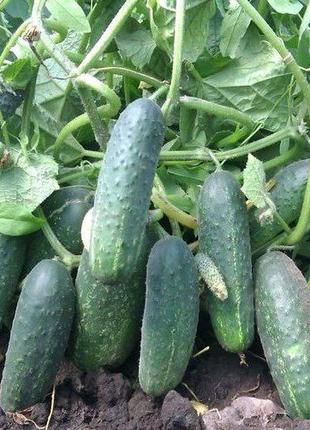 Огурец Эколь (семена 25 шт) 5 грн