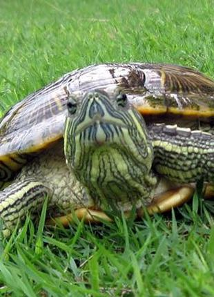Черепаха ( черепахи) красноухие от 17см. Доставка по Киеву