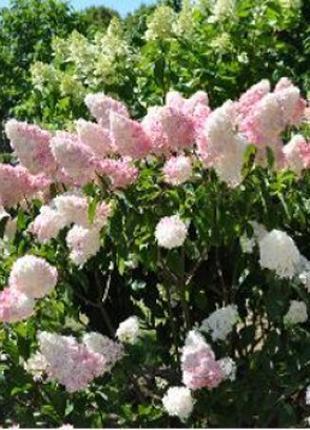 Гортензия Пинк Леди Hydrangea Pink Lady