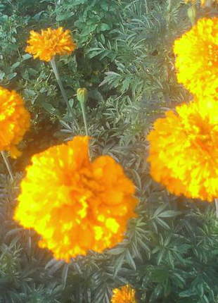 Бархатцы высокорослые, гигантские бархатцы (семена 0,3г) 5 грн