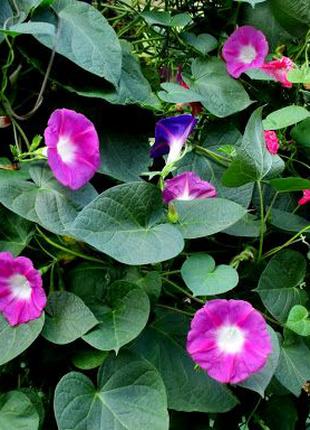 Ипомея розовая (семена 2г) 4 грн
