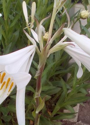 Лилия Кандидум (белоснежная) лечебная, луковицы