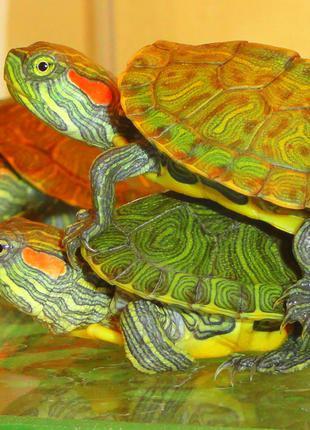Купить красноухую черепаху сегодня! Корм в подарок!