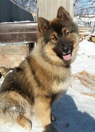 Сибирский Хаски Читайте описание и историю этого красавца!!!!