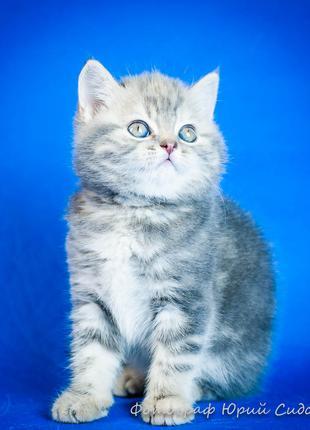 Котенок! Шотландская прямоухая девочка