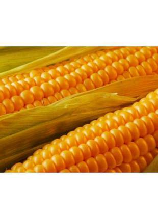 Посівна кукурудза сорт Дніпровський 181й