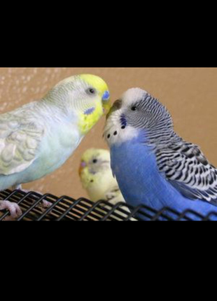 Попугаи волнистые, кореллы Днепр