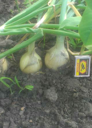 Лук Ортодокс (семена 1 г) 5 грн