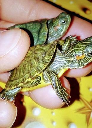 Многие мечтают завести себе красноухую черепаху!