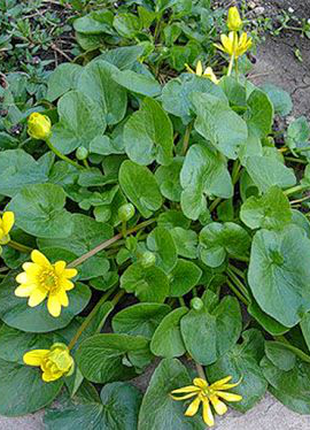 Цветок Калюжница( цена за кустик7×7см)
