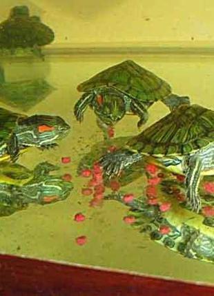 Игривые, добрые малыши красноухой черепахи купить сегодня с доста