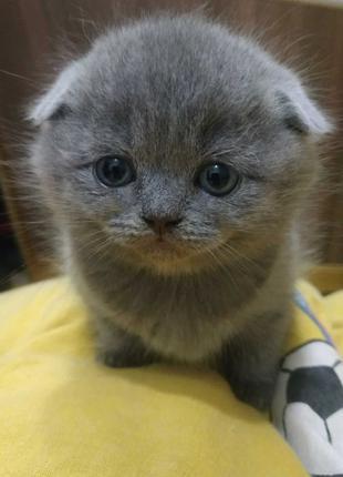 Шотландський висловухий котик