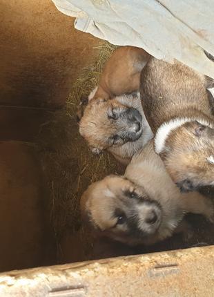 Продам щенков Азиатской овчарки(Алабай)САО