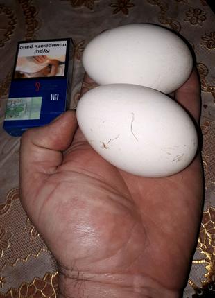 Яйца гусиные инкубационные яйця гусячі