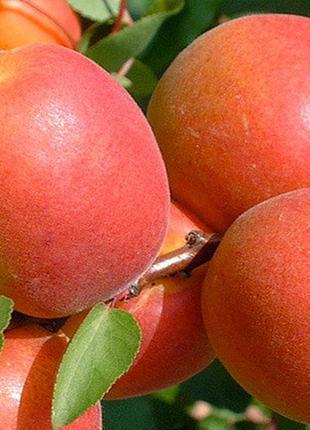 саженцы абрикос СЫН ТАБАРЗЫ