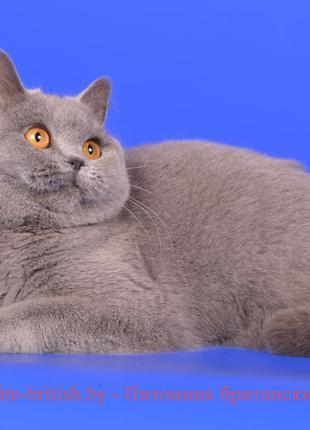 Британский котяра на вязку