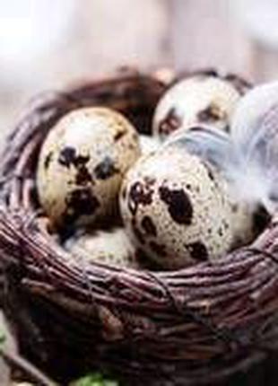 Инкубационные яица перепела