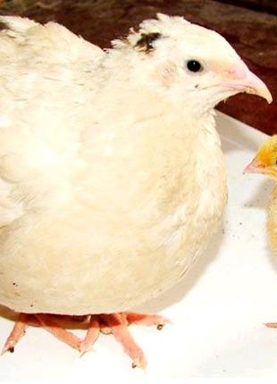 Техасец инкубационные яица Украина