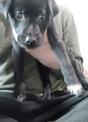 Срочно продам щенков Лабрадор Ретривер