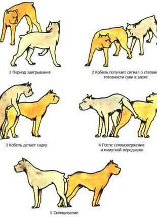 Договір про В'язання собак Пітбуля Кобеля з Сучкою