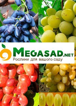Саженцы винограда: кишмиш, столовый виноград, винный виноград